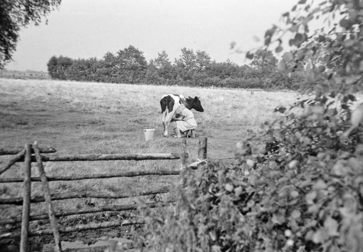 Kühe auf der Weide. Landwirtschaft damals